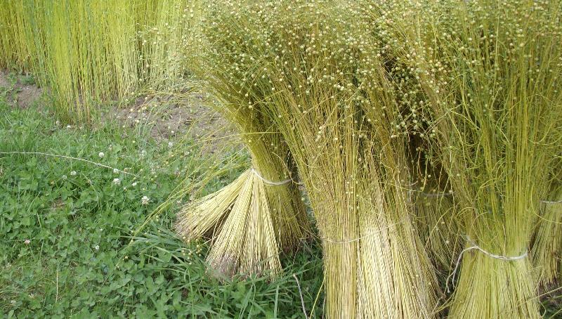 flax in the field.jpg