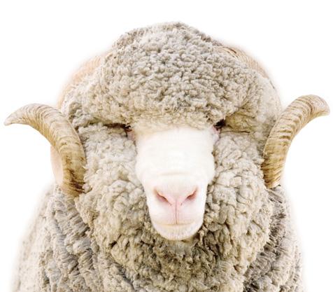 New_Zealand_Merino_Wool_02.jpg