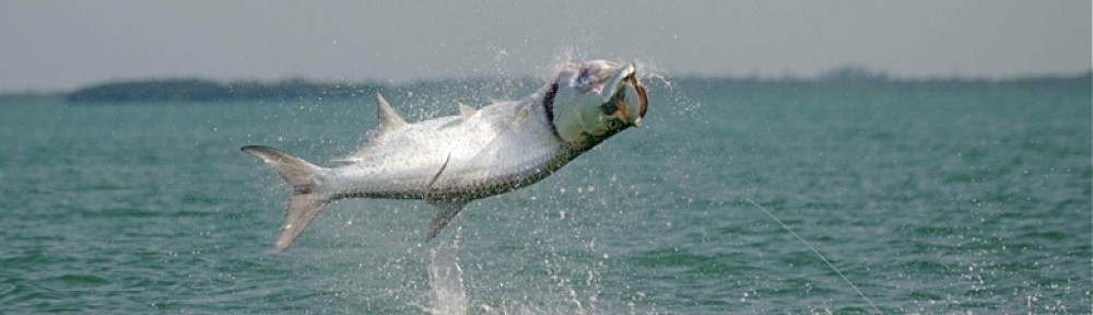 A High Flying Tarpon in the backwaters of Fort Myers and Sanibel!
