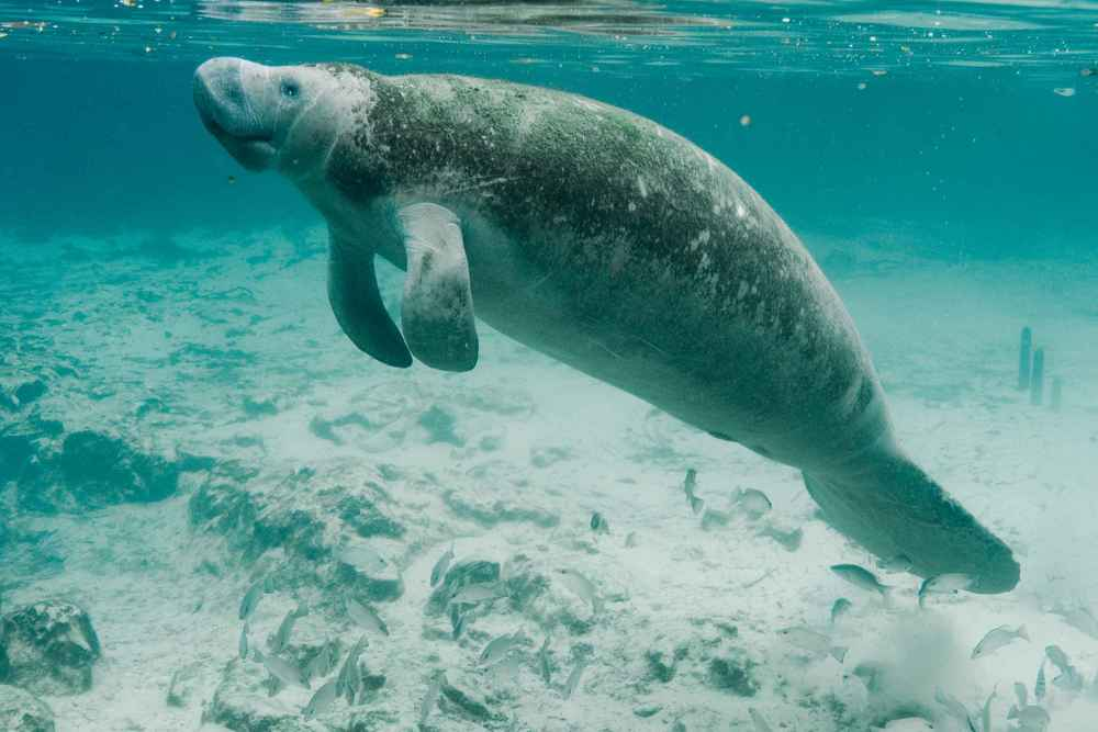 Underwater_photography_on_endangered_mammal_manatee.jpg