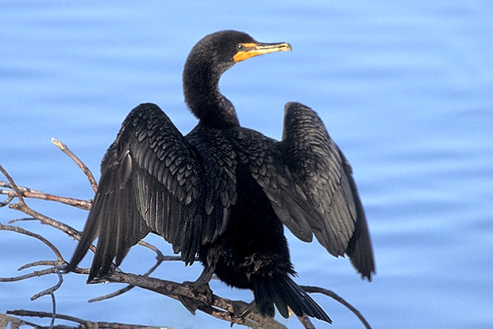 Double-crested_Cormorant_at_Ding_Darling_NWR.jpg
