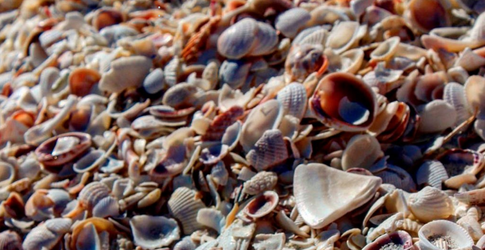 Sanibel Island Sea Shells