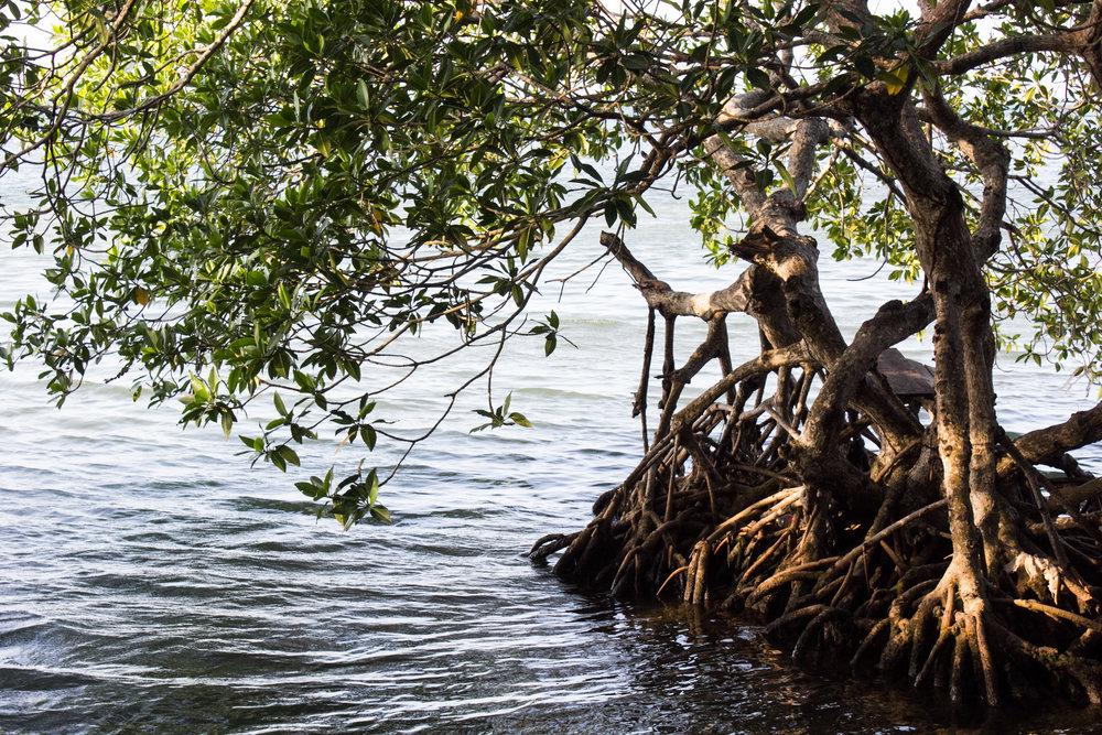Mangroves, Roatan, Honduras