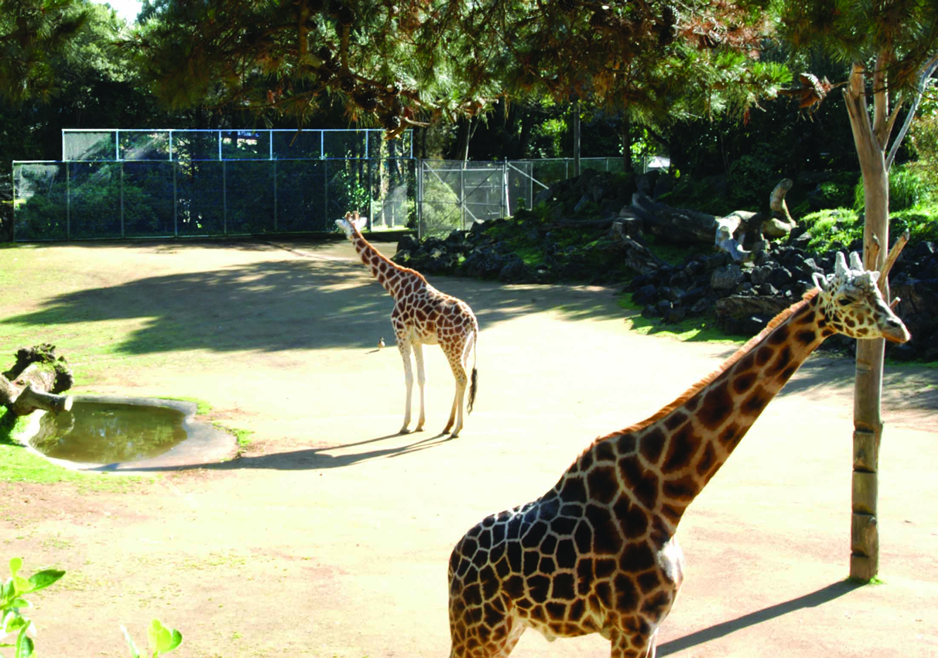 Giraffe Enclosure Auckland Zoo 2.png