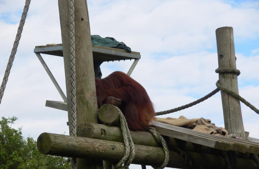 Orangutan Zoo Enclosure .jpg