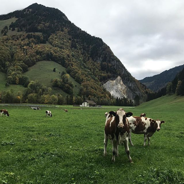 We, do solemnly swear, to uphold the Swiss bovine principles, on which we collectively benefit, ...