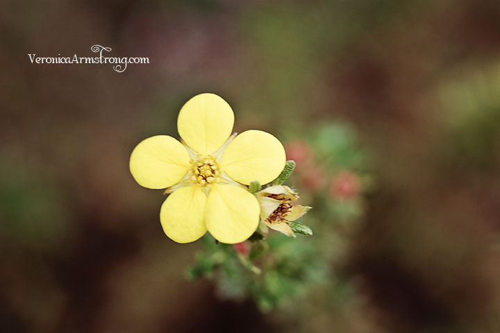 yellow-veronica-armstrong-1