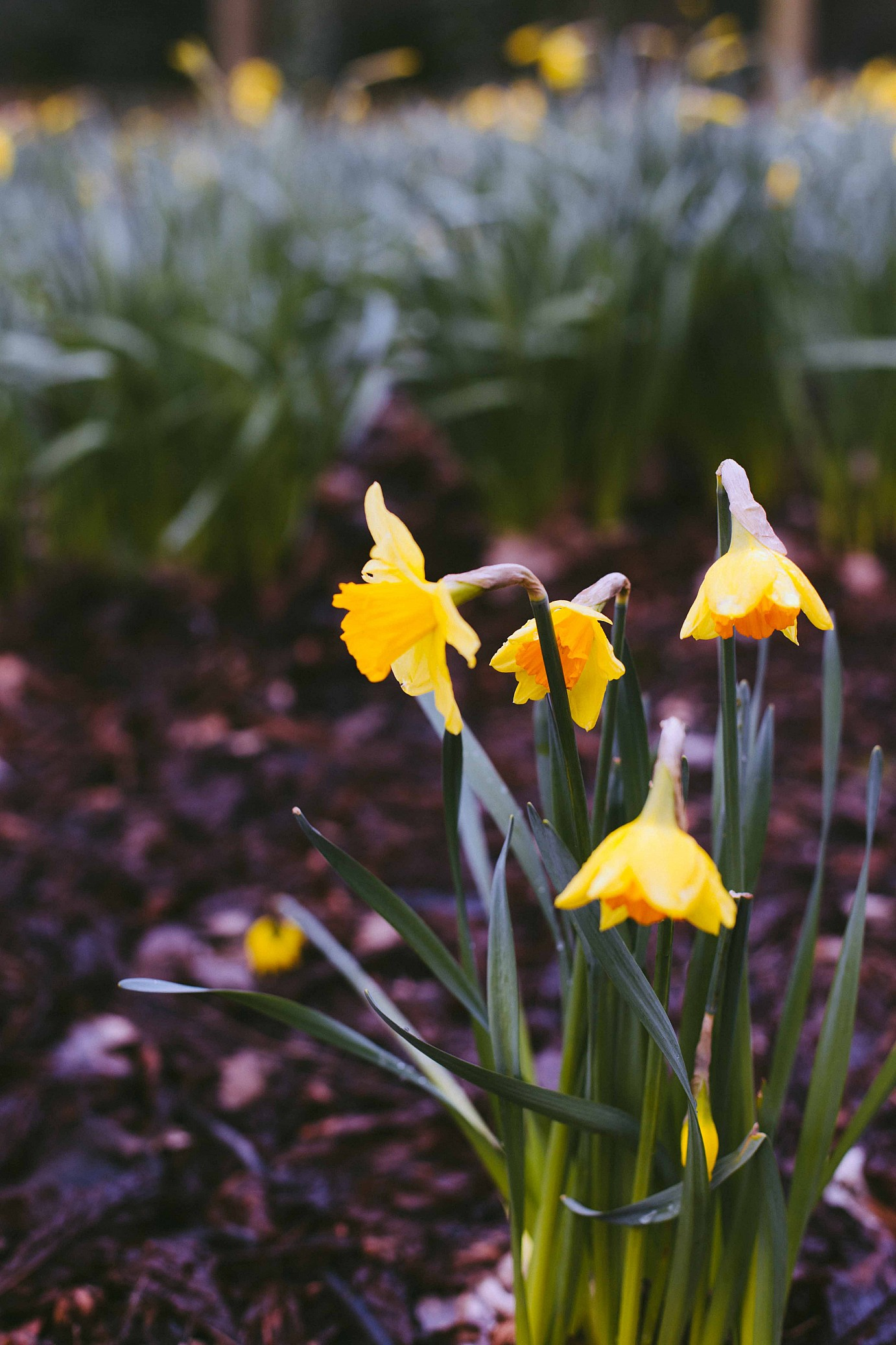 veronica-armstrong-daffodil