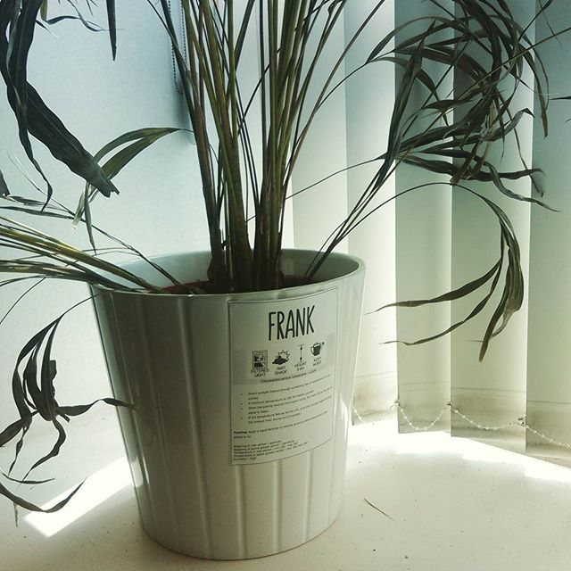 Our office plant Frank was in great need of sunshine! Hope these spring rays will make him feel better!  #plant #indoors #office #justofficethings