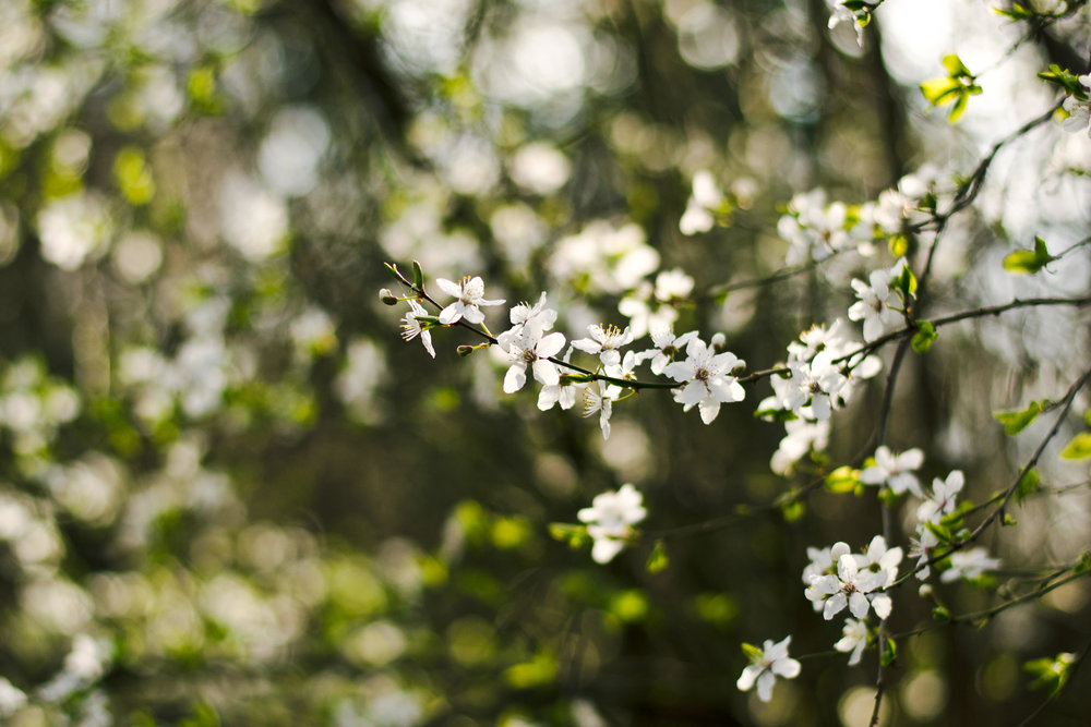 White blossoms.jpg