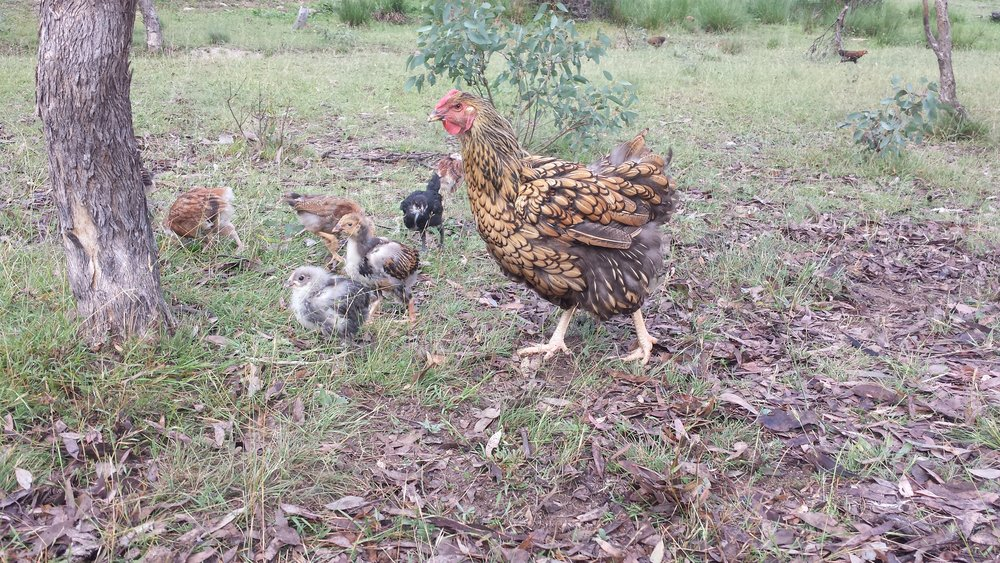 Chicken manure is great for the garden, but too strong for seedlings and not great for leafy greens if not composted first.
