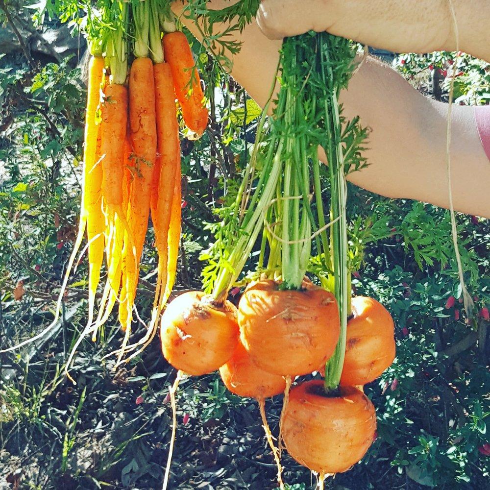 BurraBee Farm Carrots