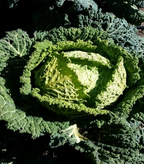 BurraBee Farm Cabbage