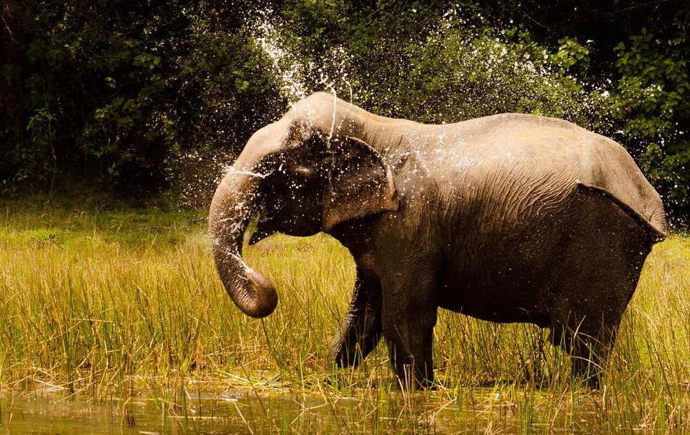 Asian Elephant in Wilpattu National Park