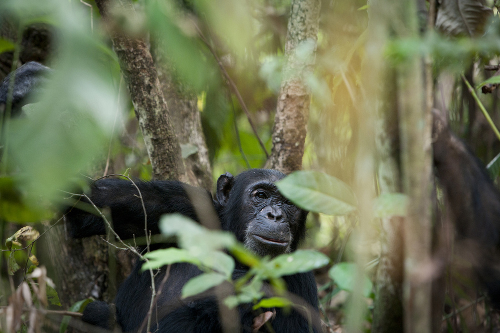 CHIMPS & LAKE TANGANYIKA   Glimpse into Dr.Jane Goodall's world.