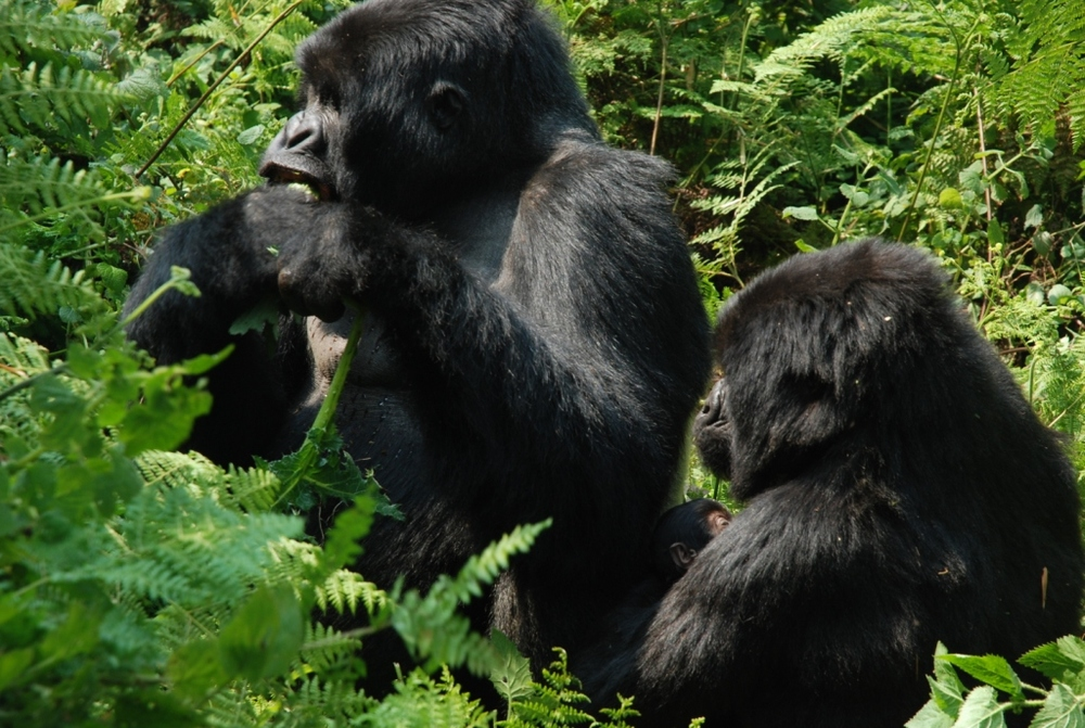 TREK THE GORILLAS IN RWANDA   Be with animals who share our DNA.