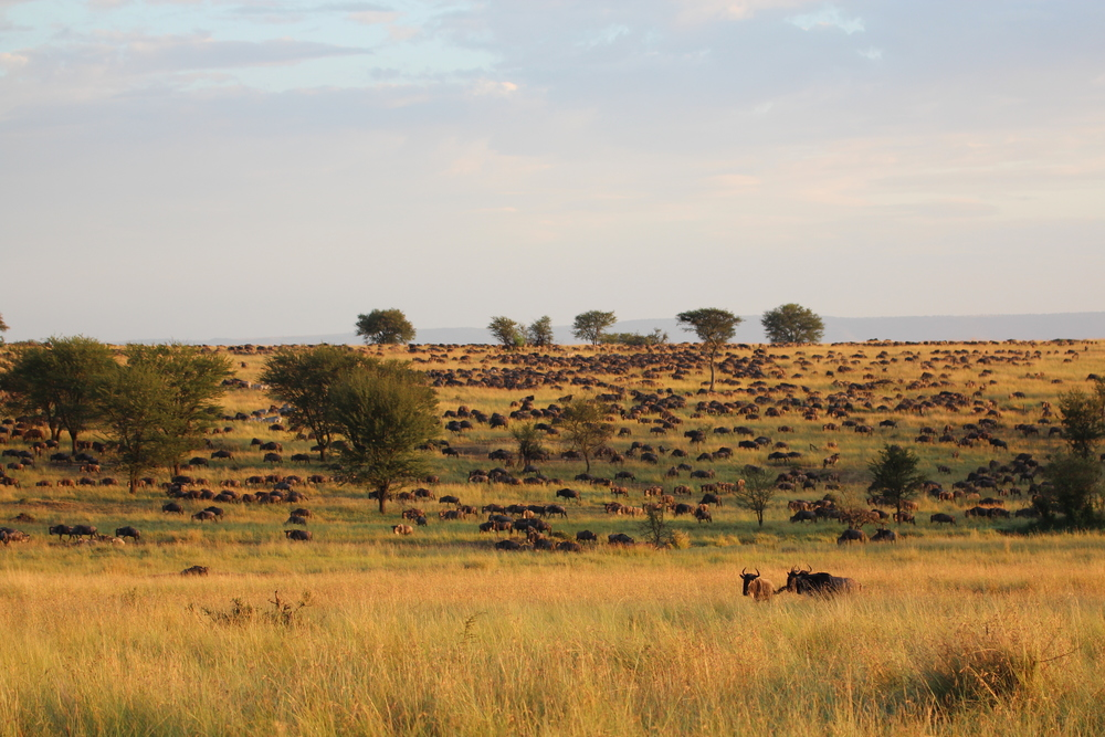 The Wildebeest Migration slow grunting their way to Northern Serengeti.