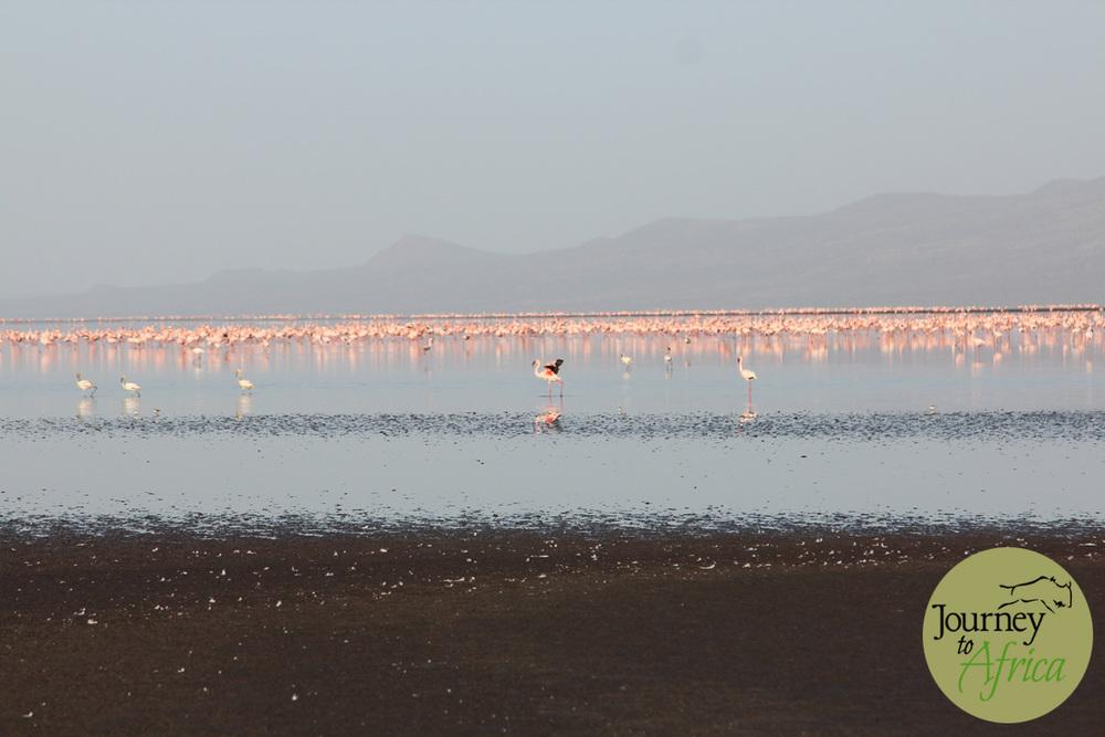Flamingos in Lake Natron