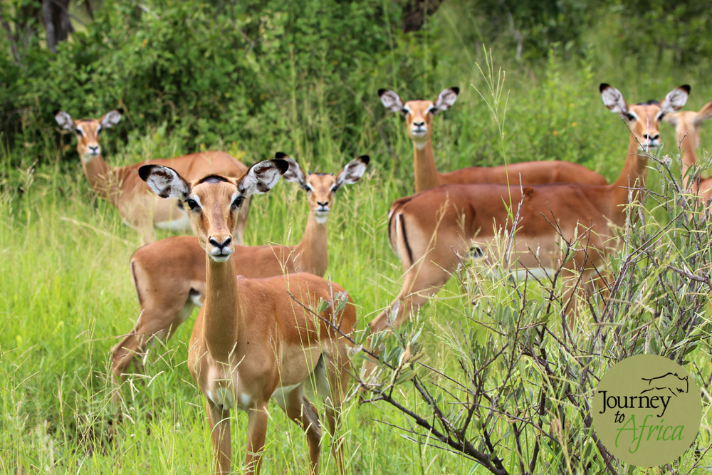 Impala Ladies
