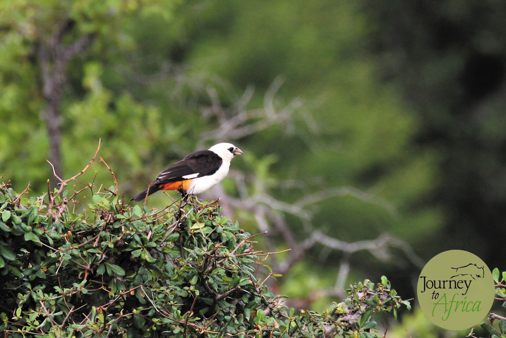 White headed Buffalo Weaver.