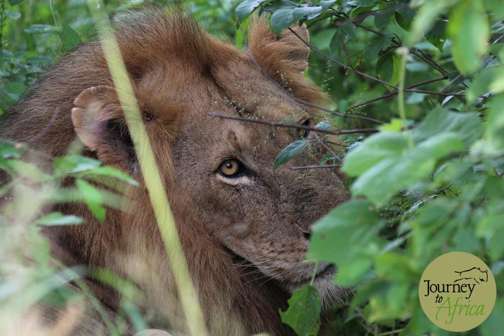 Lion_Ruaha