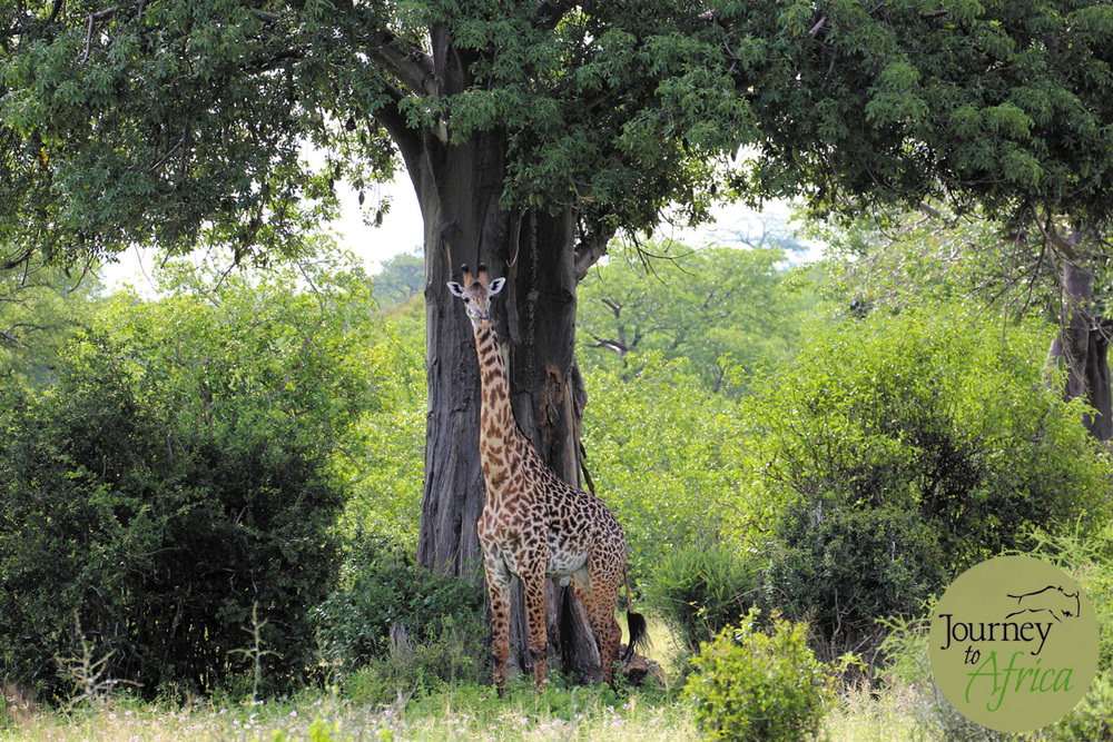 Giraffe under a large baobab tree.