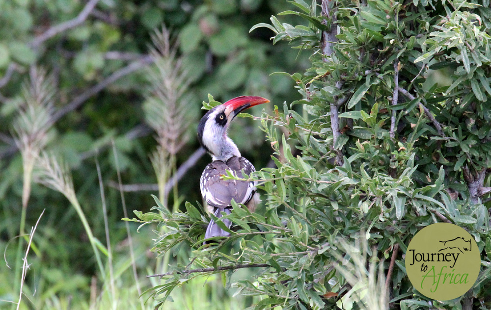 Red-billed Ruaha Hornbill