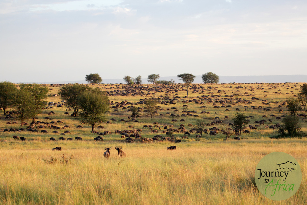 The longer we sat watching them march in, the larger the herds grew. What an experience!