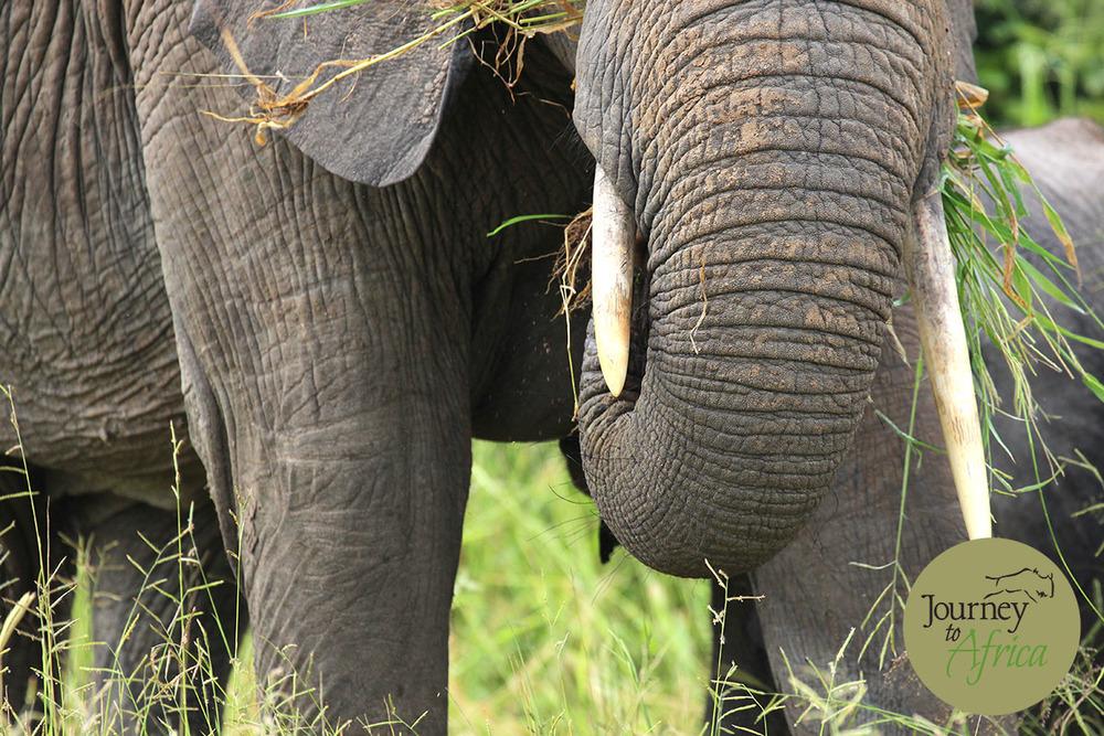 Elephant Ruaha