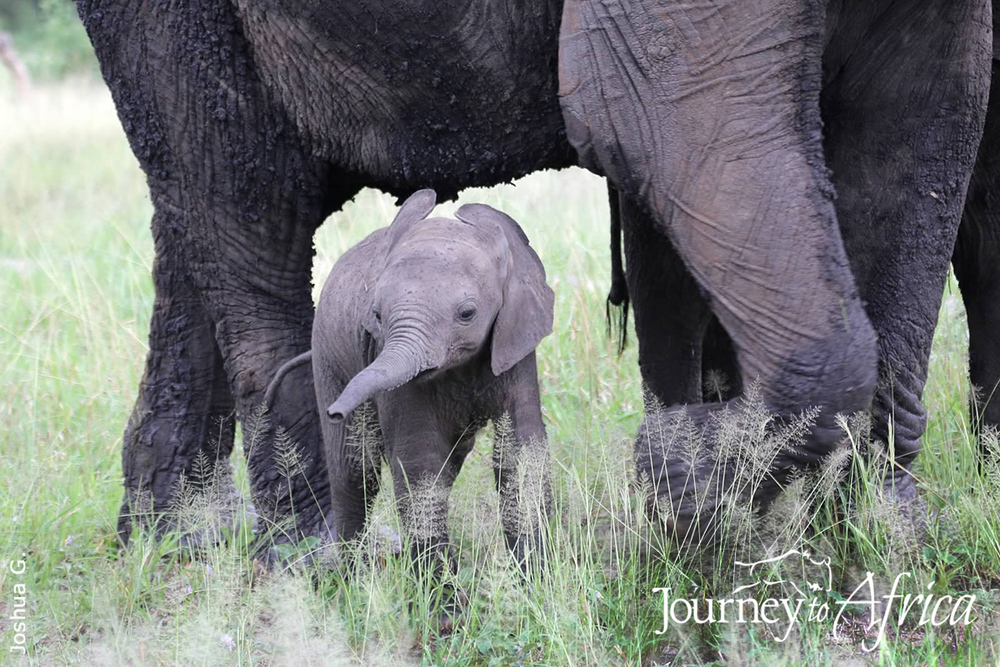 Baby Elephant Tanzania Safari