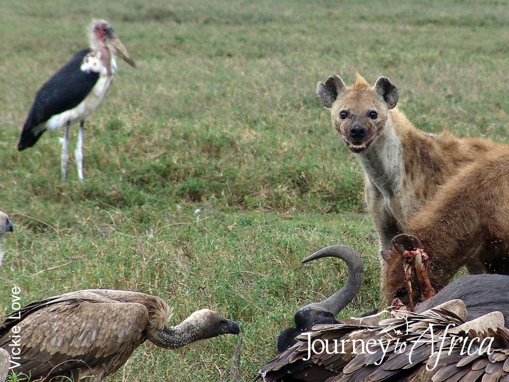 hyena tanzania safari