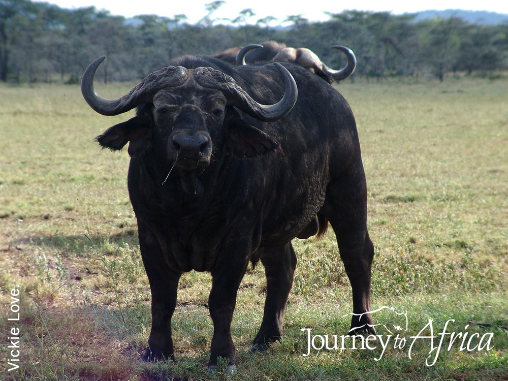buffalo tanzania safari