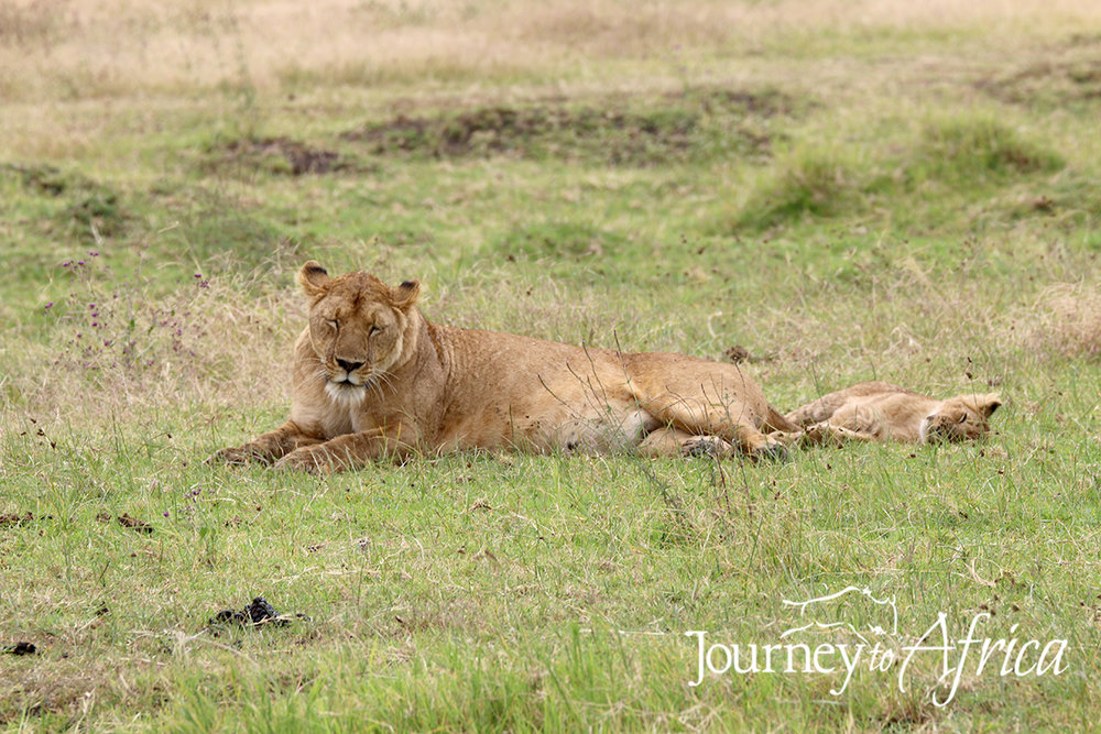 lions on ngorongoro crater