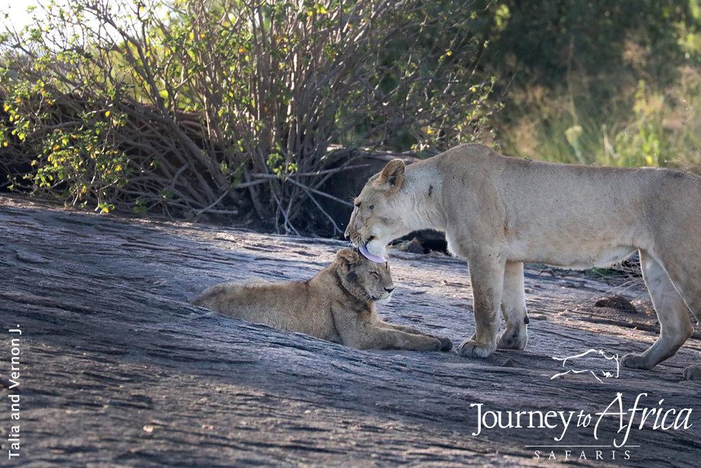 mama and lion cub