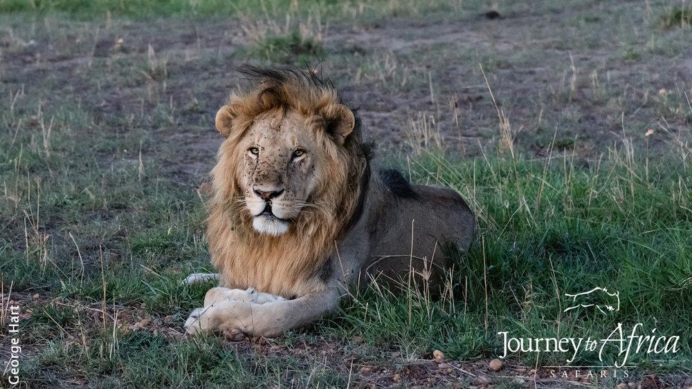 lion_mane