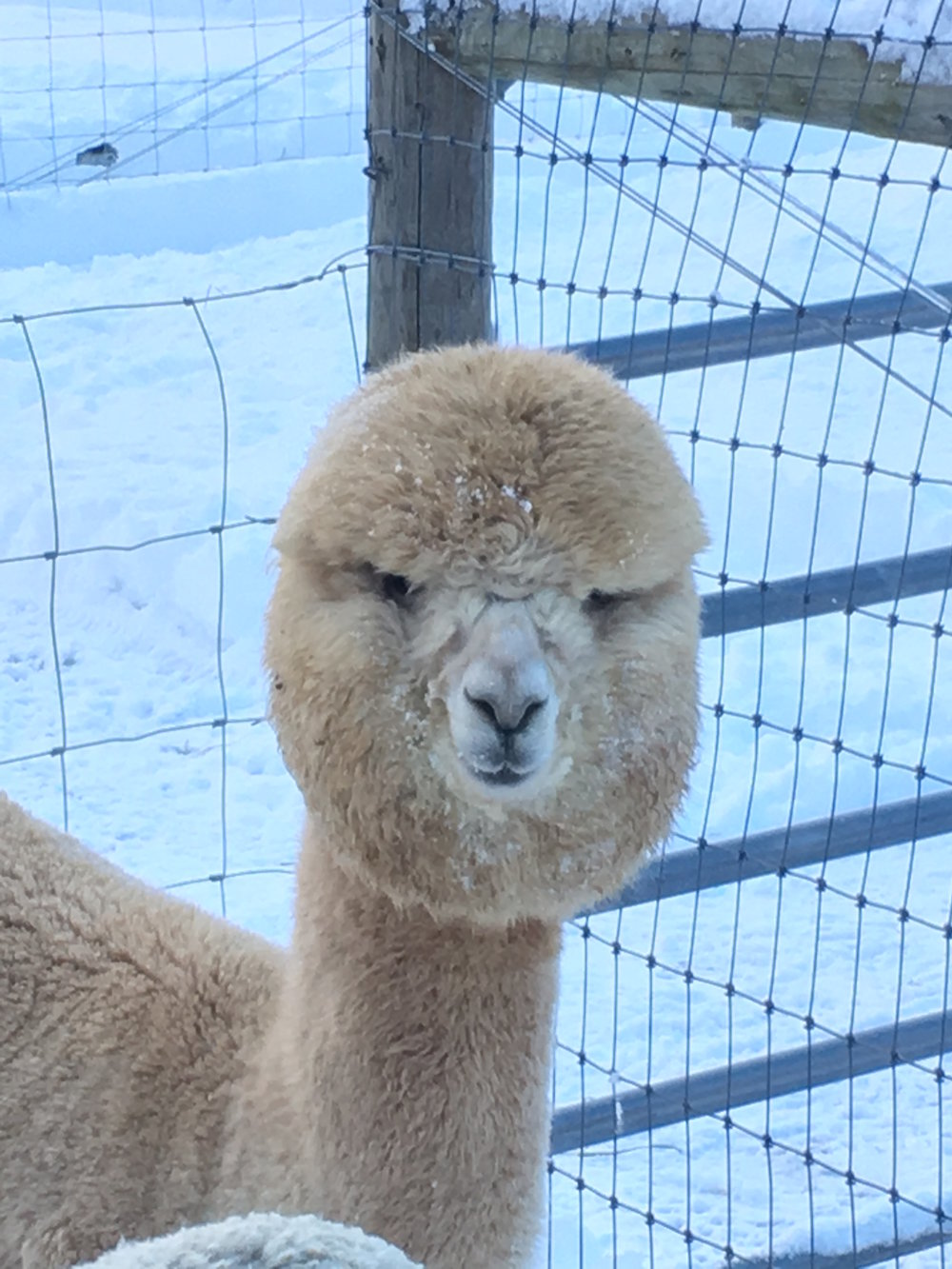 Oscar head shot in snow.JPG