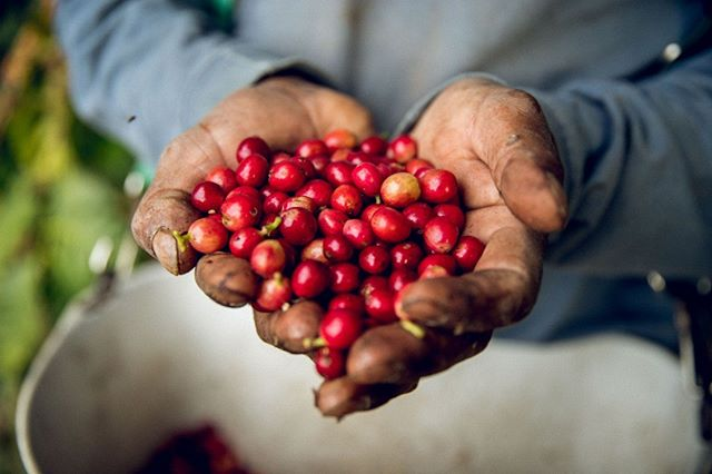 """""""From the second the coffee is harvested, to the minute that someone is drinking the  coffee, that cup of coffee has touched at least 22 sets of hands."""" Our next episode, Episode 128, covers a #CoffeeMyth about #SuperSpecailtyCoffee being grown in California. Catch it this Friday! 📷 @frinjcoffee"""