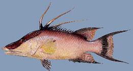 hogfish-2.jpg