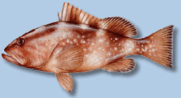 red-grouper2.jpg