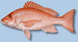 red-snapper2.jpg