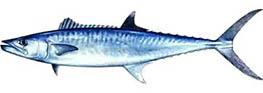 kingfish.jpeg