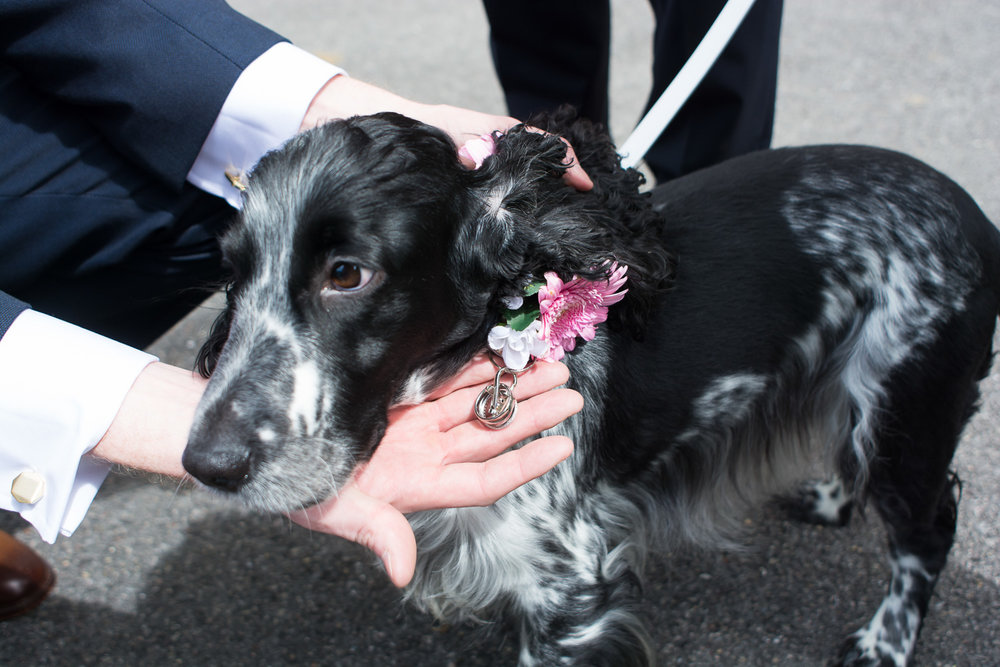 the bride and grooms dog is their ring bearer at st mary's church plympton plymouth