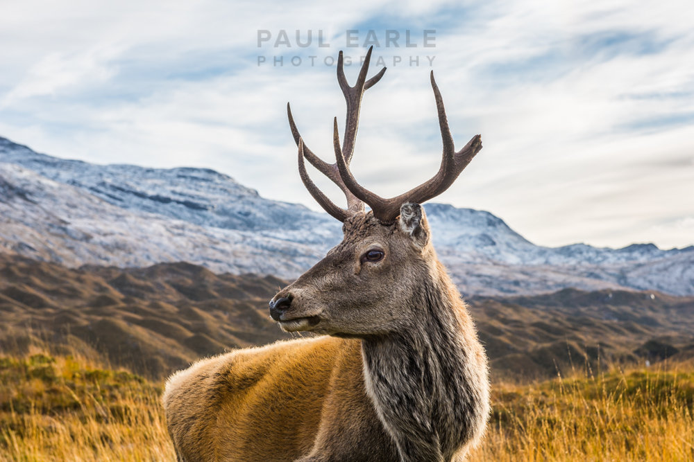 Unbelievably this shot was taken with a 24-70mm lens - I've never been so close to wild red deer in Scotland!