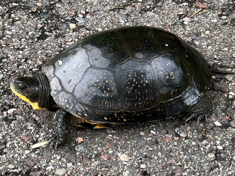 A midwestern Box Turtle lounges on a bike path near Rib Mountain, Wisconsin.