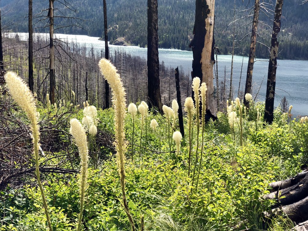 Beargrass is one of the first plants to appear after a forest fire. This area last burned in 2015.