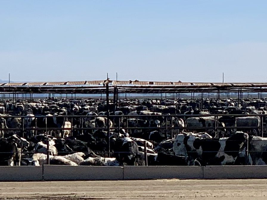 A stockyard north of Brawley. Kind of makes one wonder what our feedstock endures to becomes a hamburger.