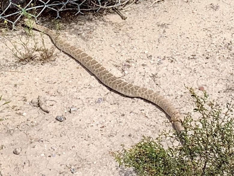 A rattlesnake seen on a bike trail near Tucson. As it gets hotter, they get more active.