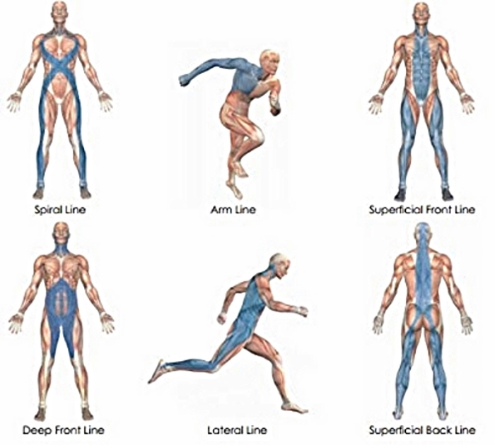 MYOFASCIAL LINES DIAGRAM REPRESENT THE INTERCONNECTEDNESS OF MUSCLE GROUPS