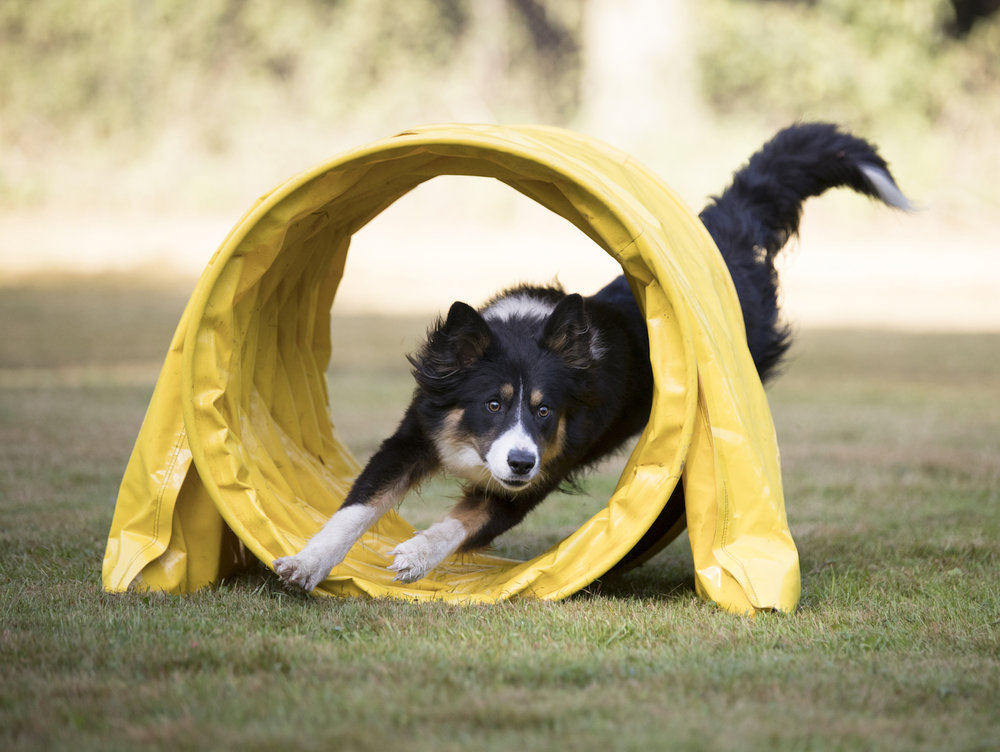border-collie-tunnel resize.jpeg