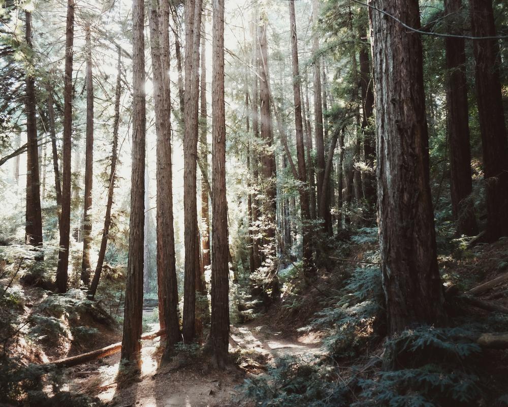 redwood-forest-vivianchen.jpg
